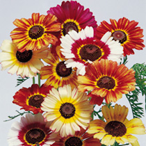 Chrysanthemum Seeds - Dobies Rainbow Mixture