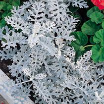 Cineraria Maritima  Seeds - Dwarf Silver