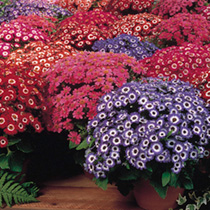Cineraria Seeds - Court Jester Mixed F1
