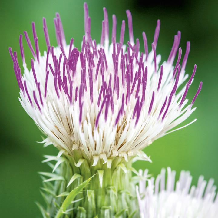 Cirsium Plant - Pink Blush