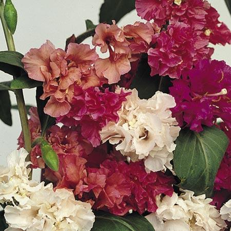 Clarkia Seeds - Elegans Love Affair