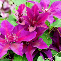 Clematis Plant - Fleuri