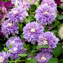 Clematis Regal Collection