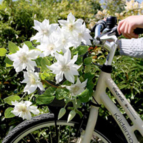 Clematis Plants - Twin Pack