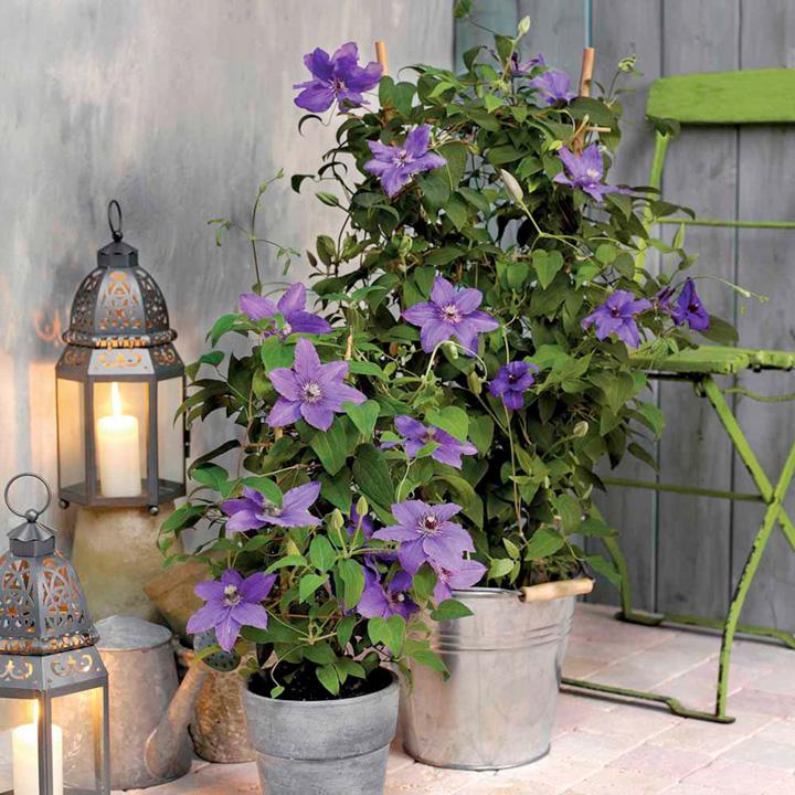 Clematis Plant - Angelique