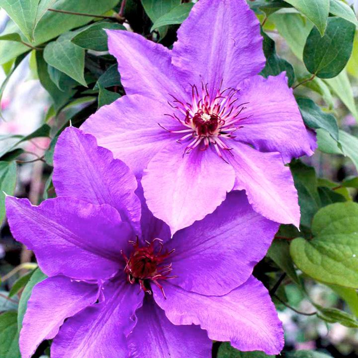 Clematis Plant - Parisienne