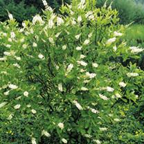 Clethra alnifolia Plant - Hummingbird