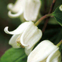 Clematis anshunensis Plant - Winter Beauty