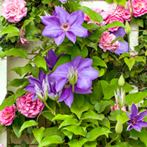 Clematis and Rose Plant Twin Pack