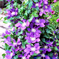 Clematis Plants - Mixed x 6
