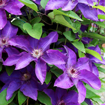 Clematis Plant - The President
