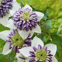 Clematis Plant - Garland Viennetta