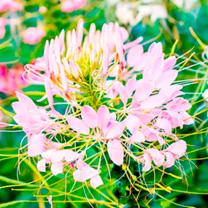 Cleome Plants - Sparkler