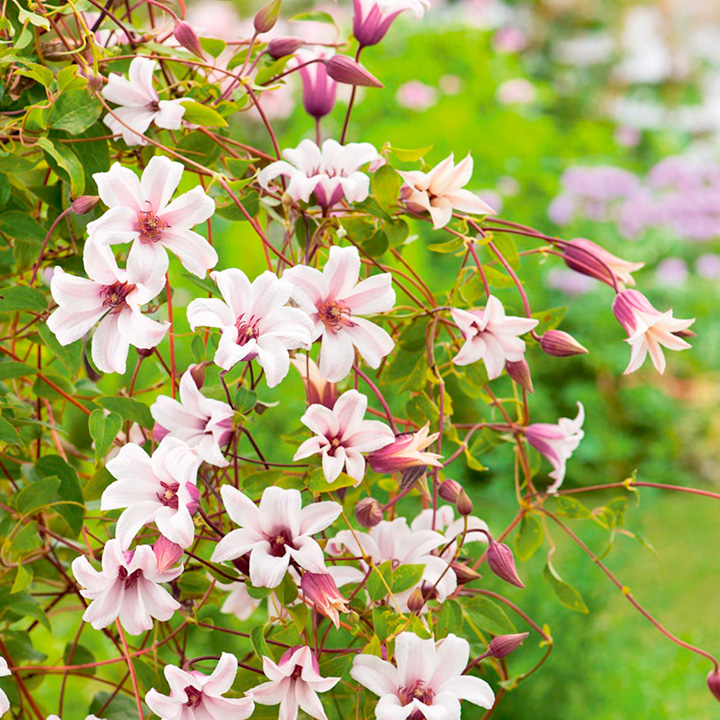 clematis texensis plant princess kate all flower plants flower plants flowers garden. Black Bedroom Furniture Sets. Home Design Ideas