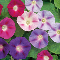 Convolvulus Seeds - Major Mixed