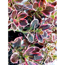 Coprosma Plant - Pacific Dawn