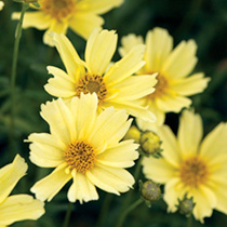 Coreopsis Plant - Creme Brulee