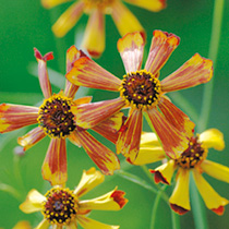 1/2 Price Coreopsis Seeds - Sea Shells Red