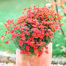 Red Perennial Plants - Collection