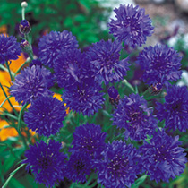Cornflower Seeds  Blue Diadem
