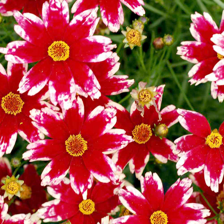 Coreopsis Plant - Ruby Frost