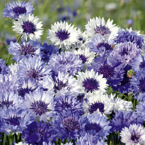 Cornflower Plants - Classic Fantastic