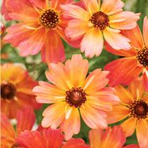 Coreopsis Plant - Limerock Dream