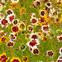 Coreopsis Seeds - Incredible Mixed
