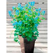 Corydalis Plant - Blue Line