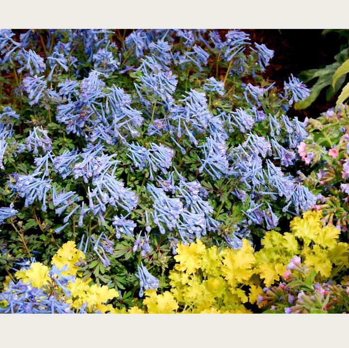 Corydalis Plant - Blue Dragon