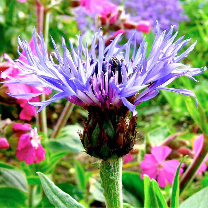Mountain Cornflower Seeds - Montana
