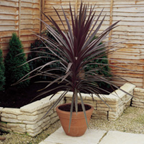 Cordyline Plants - Red Sensation