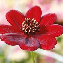 Cosmos Plant - Choca Mocha