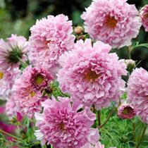 Cosmos Plant - Rose Bonbon