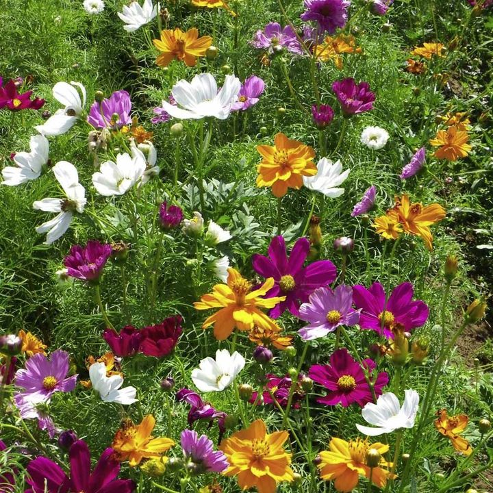 Garden Flowers Flower Seeds All Flower Seeds Cosmos Seeds  Feng Shui