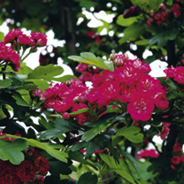 Crataegus laevigata Tree - Paul's Scarlet