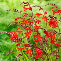 Crocosmia Plant - Emberglow