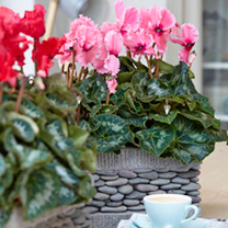 Cyclamen Christmas Indoor Plant - Bells Pink