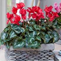 Cyclamen Christmas Indoor Plant - Bells Red