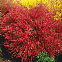 Broom Prairie Flame Seeds
