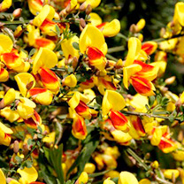 Cytisus Scoparius Firefly (Broom) Plant
