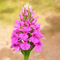 Dactylorhiza Elata (Orchid) Plant