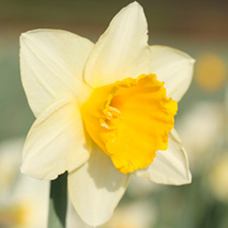 Daffodil (Cornish) Bulbs - Childrens Promise