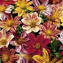 Dahlia Seeds - Fireworks