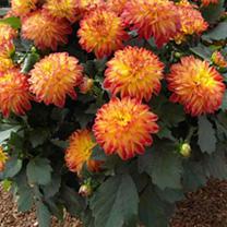 Dahlia Plants - hypnotica Tequila Sunrise
