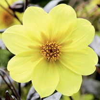 Dahlia Plant - Clarion