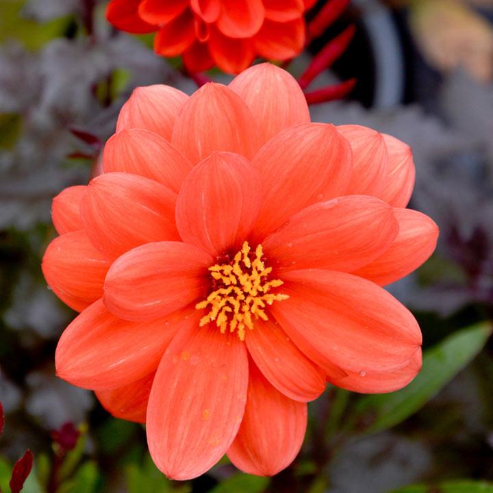 Dahlia Plant - Dreamy Flame