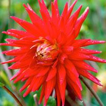 Dahlia Plant - Red Pigmy