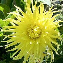 Dahlia Plant - Yellow Sar