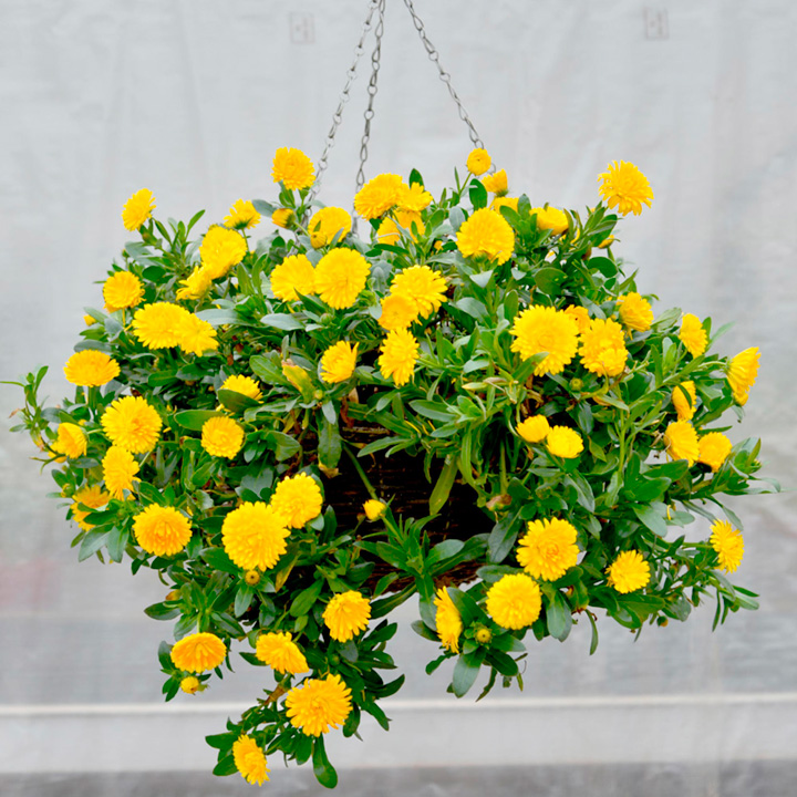Powerdaisy Plant - Sunny
